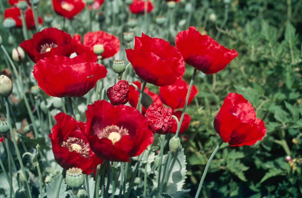 Opium poppies_Wellcome Collection