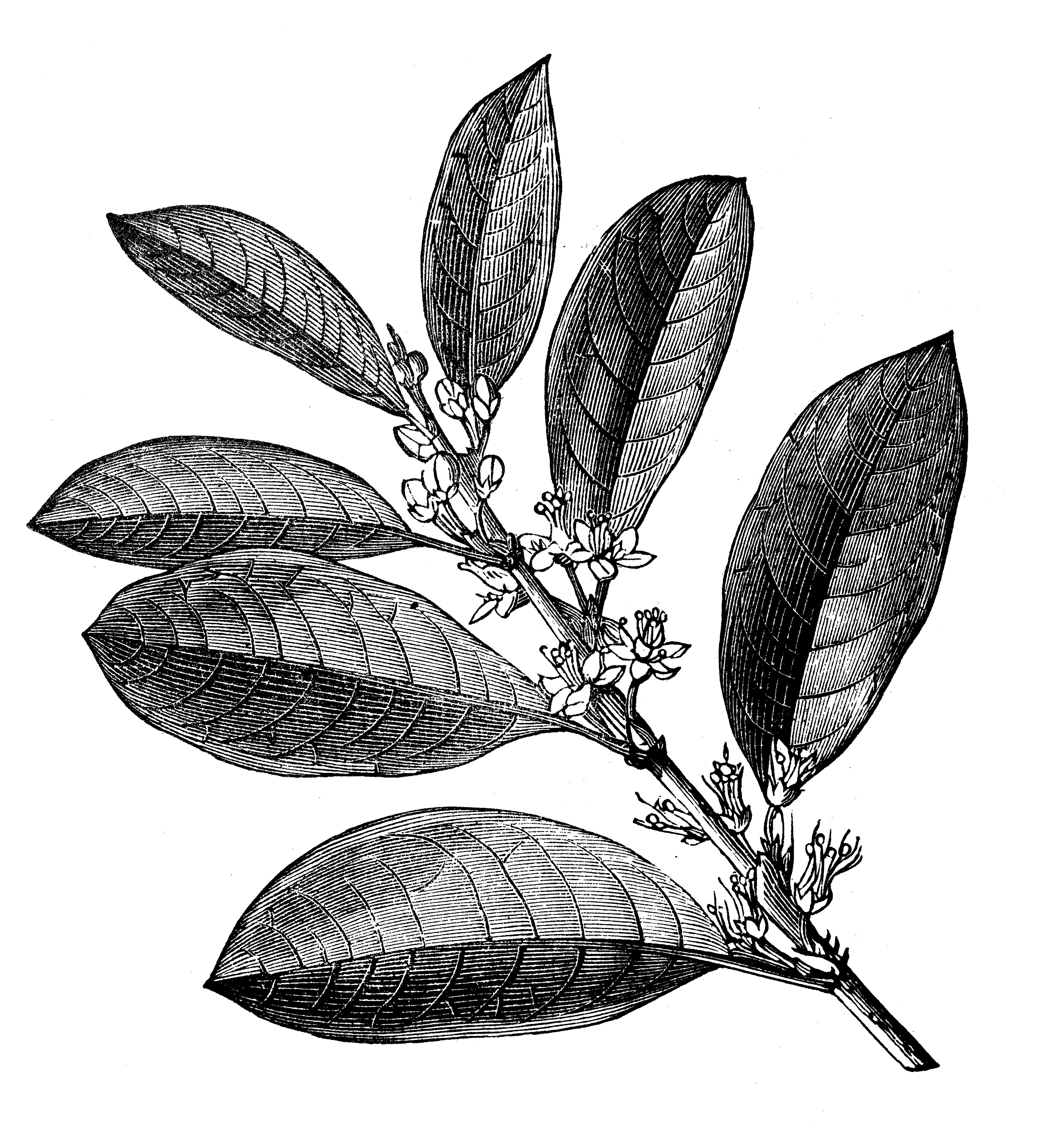 P2 I4 coca leaves_GettyImages-696325614